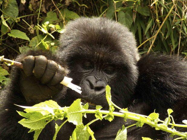 Gorilla Trecking und Masai Mara Kenia Safari – neue Flugverbindung