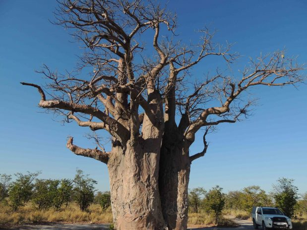 Botswana Safari – Zebra Wanderung im Nxai Pan Nationalpark mit African Bush Camps