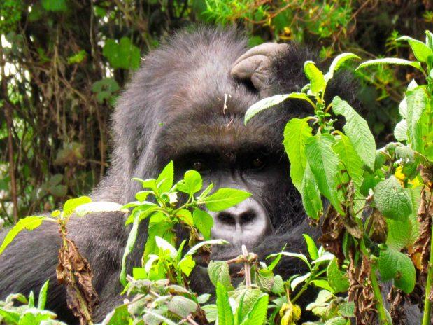 Heute ist Welt Gorilla Tag und Ruandas Gorilla Babies bekommen heute Ihren Namen